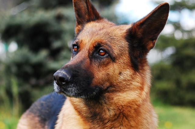 Sheep-dog-German-Shepherd-Animal-Dog-Black-And-Tan-2386814.jpg