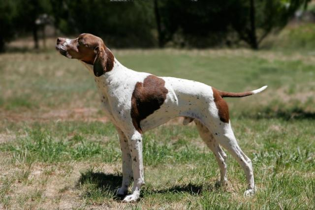 English_pointer (1).jpg