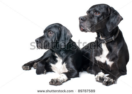 stock-photo-family-dog-father-and-son-pointer-dog-89787589.jpg
